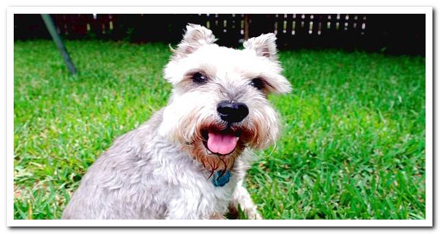 Top Dwarf Dog Breeds