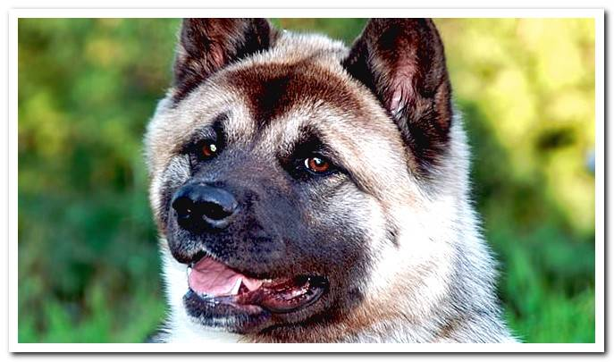 American Akita complete file Features and photos!