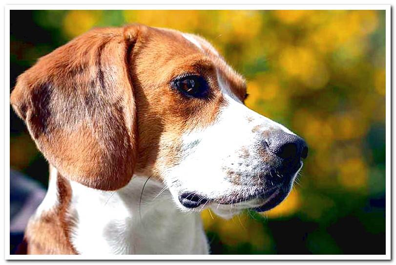 Characteristics of the American Foxhound breed
