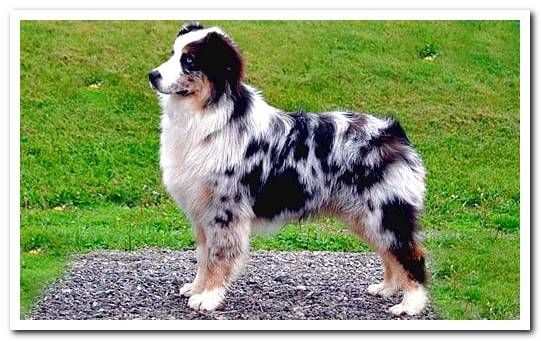 Australian Shepherd - Character and care