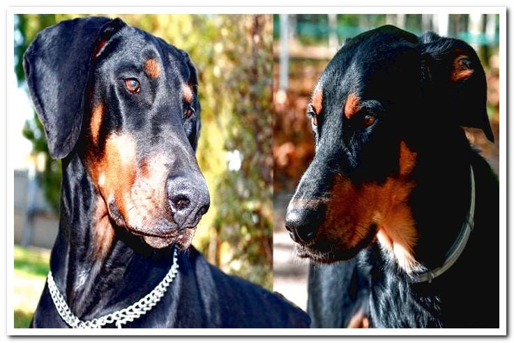 Differences between the Beauceron and the Doberman