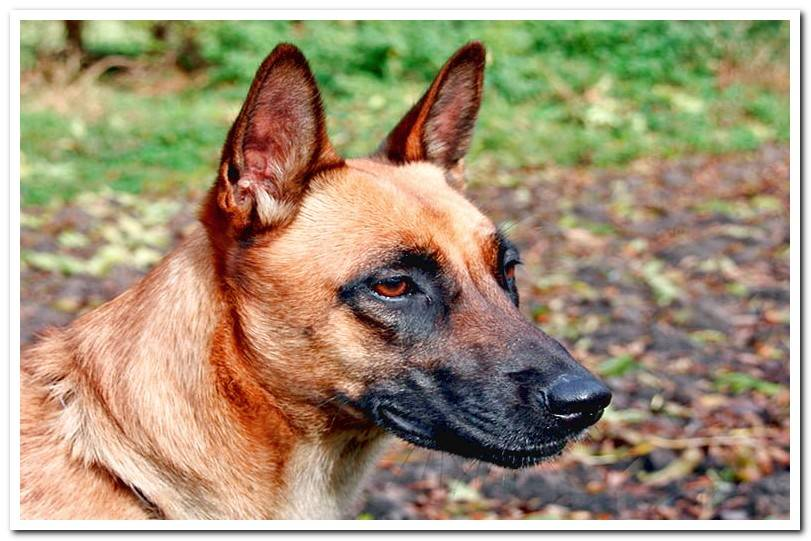 Differences between German Shepherd and Belgian Shepherd