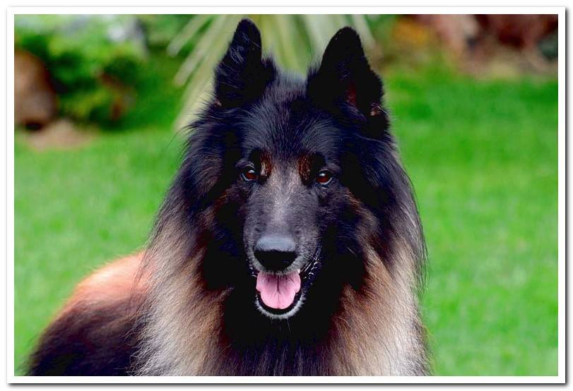 The 4 types of Belgian Shepherd - Features and photos
