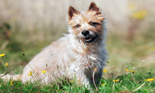 Cairn Terrier - Characteristics and care