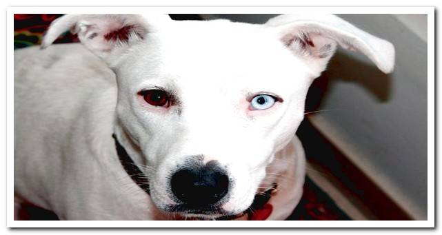Heterochromia in dogs (one eye of each color) What does it mean?