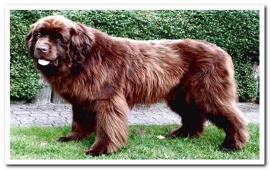 Caucasian Shepherd - Features, Videos and Many Photos!