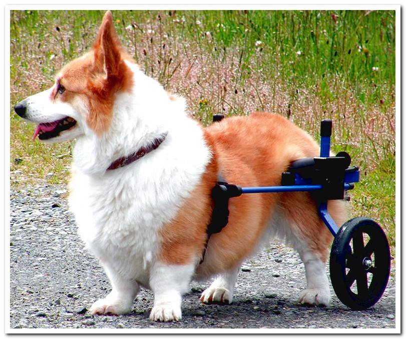 All About Wheelchairs For Dogs + Manufacturing Guide