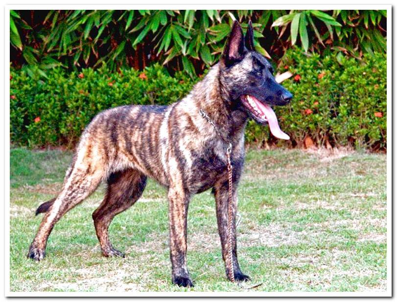 The Dutch Shepherd - Complete Guide to the breed