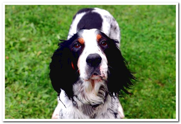 English Setter breed - Features, care and photos
