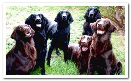 Flat Coated Retriever - Complete Information