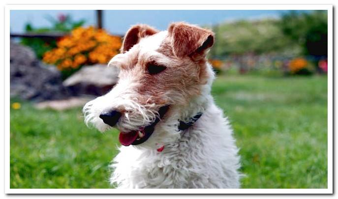 Find out EVERYTHING about the Fox Terrier dog breed: Complete file