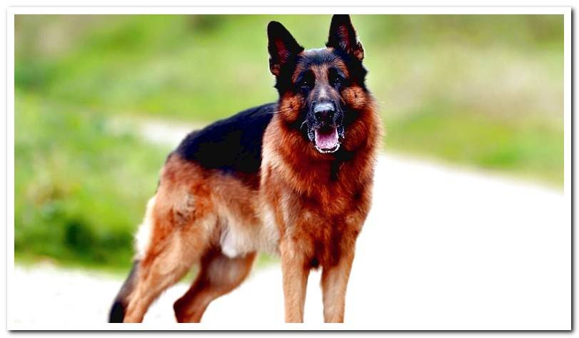 Is the German Shepherd a suitable dog for me?