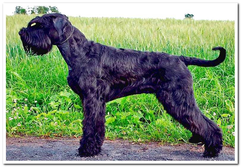 Giant Schnauzer - Complete Guide to Breed