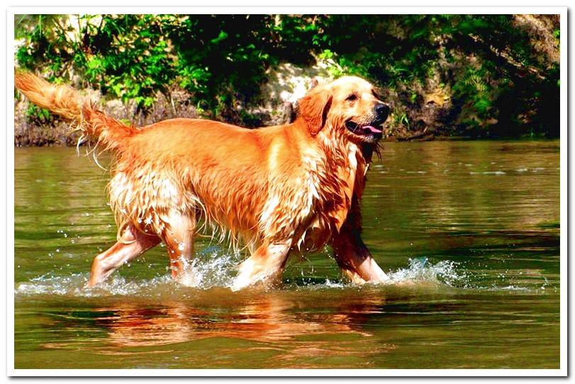 Golden-retriever-playing-in-the-water