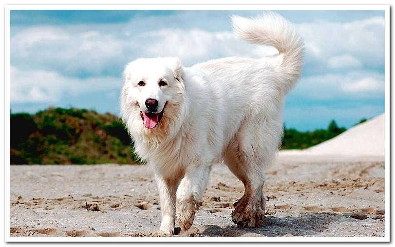 The Pyrenean Mountain dog - Characteristics of the breed and care