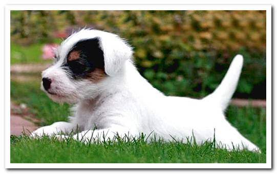 Features of the Jack Russell Terrier - Complete Breed Guide