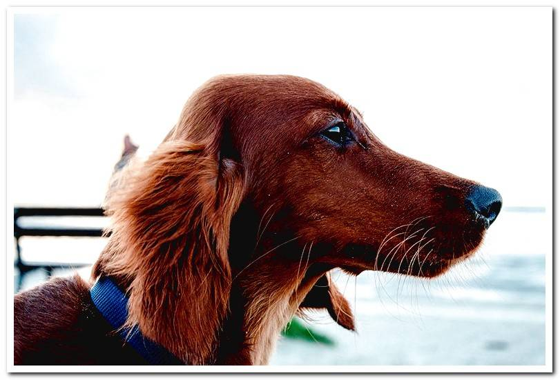 Dachshund-brown-long-haired