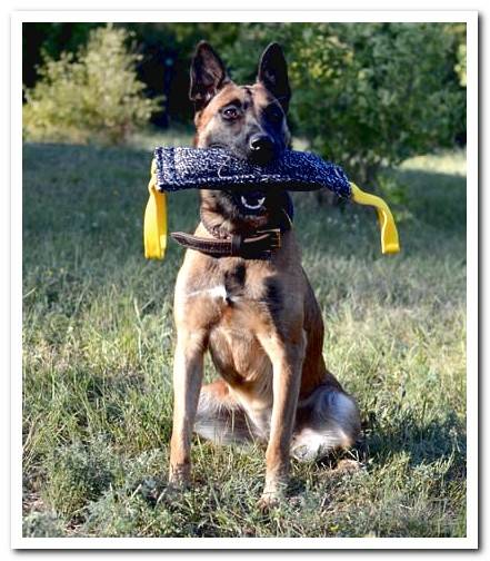 Belgian Shepherd Malinois Discover the breed with photos and video!