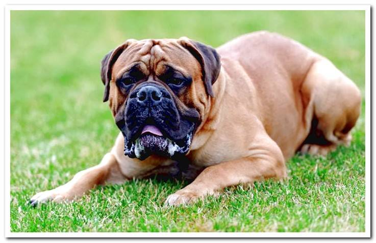 Mastiff-in-the-garden