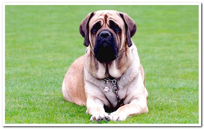 Mastiff-resting-on-the-grass