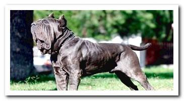 mastiff-of-naples