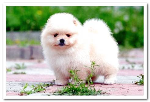 Pomeranian Toy breed guide with photos and videos!