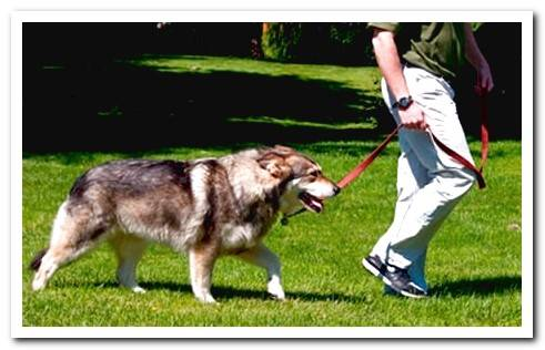 Why is my dog ​​pulling on the leash? Solutions