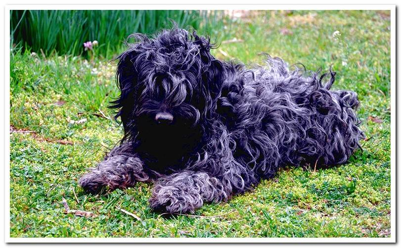 Puli the dog - History, temperament and care for his dreadlocks