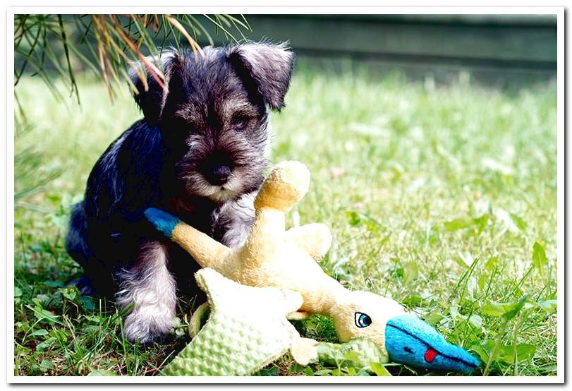 The Miniature Schnauzer - Character, behavior and recommended care