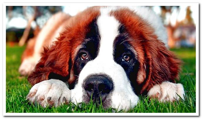 puppy of Saint Bernard dog