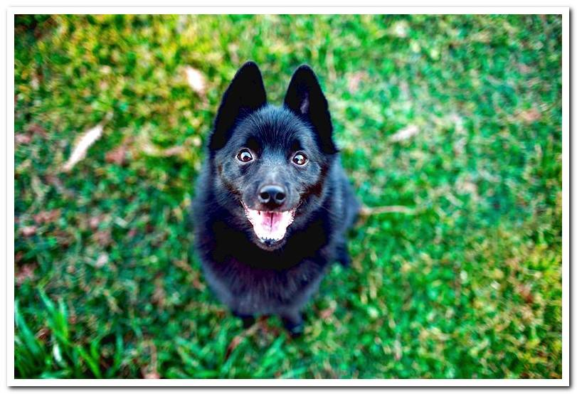 Discover the Schipperke breed - Characteristics, behavior and care