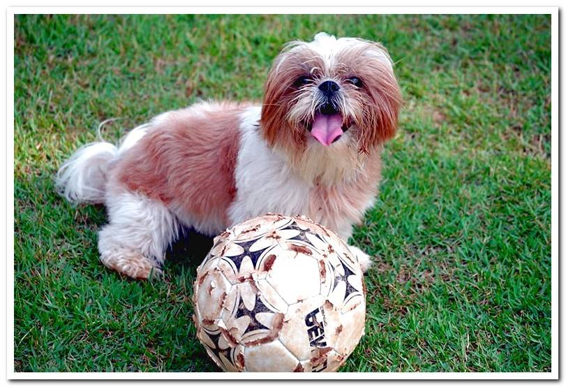 Differences between the Lhasa Apso and the Shih Tzu