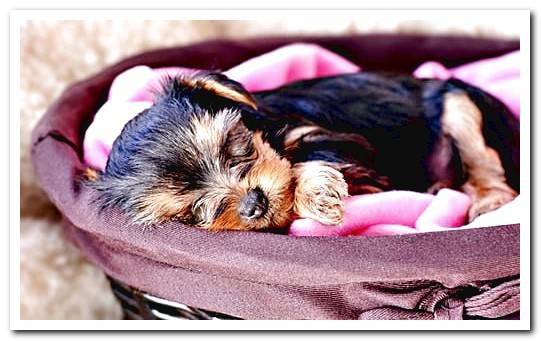 How to Care for a Yorkshire Terrier