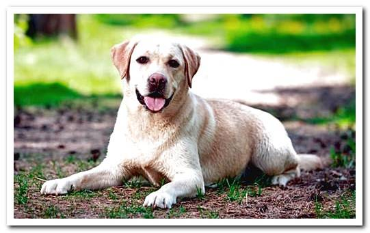 Labrador Dog Care - Complete Guide