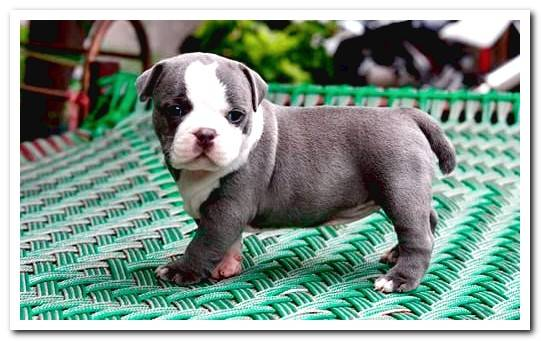 American Bully breed | Characteristics, character and care