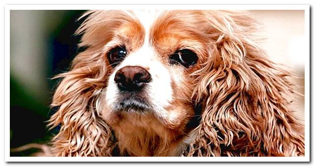 American Cocker Spaniel - Characteristics, behavior and care