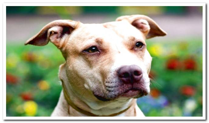 Pitbull and American Staffordshire Terrier Differences