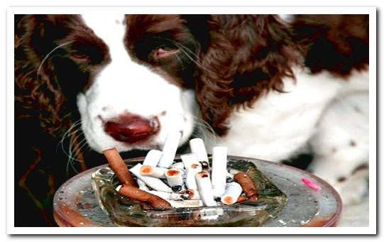 How does tobacco smoke affect a dog? Passive smoker