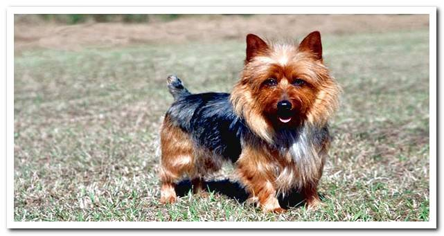 Brown and black australian terrier dog