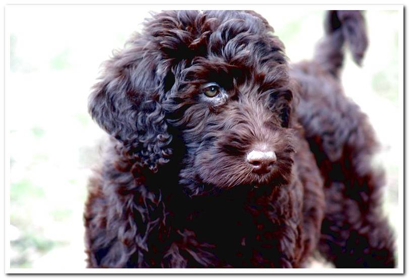 How is a Barbet dog? All about race
