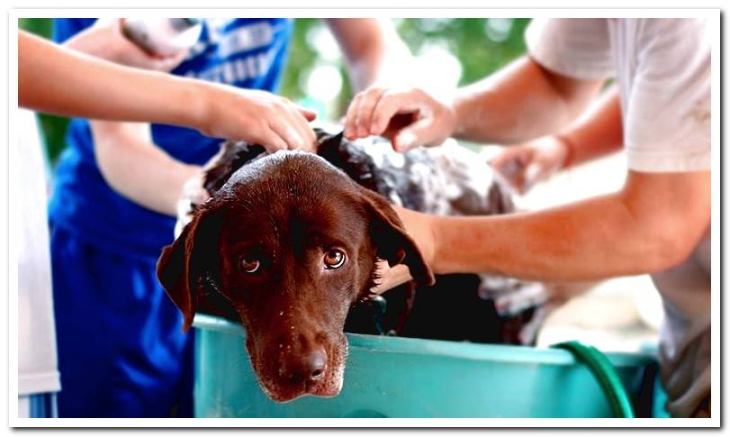 Can you bathe the dog after you pipette him?