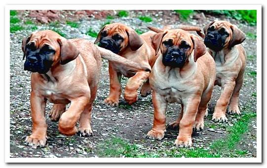 BoerBoel dog temperament (African Mastiff)