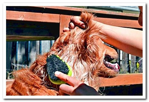 Hair shedding in dogs When do they do it and how long does it last?