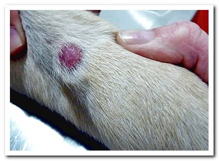 Skin diseases in dogs - Complete guide with photos