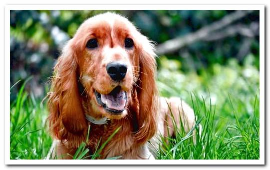 The Cocker Spaniel - Complete information, videos and many photos !!