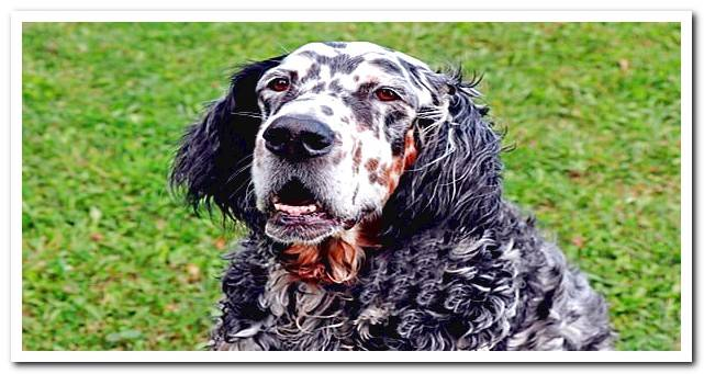 Setter types - differences, characteristics and care