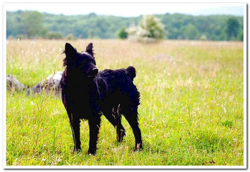 Croatian Sheepdog - Complete Guide to the breed