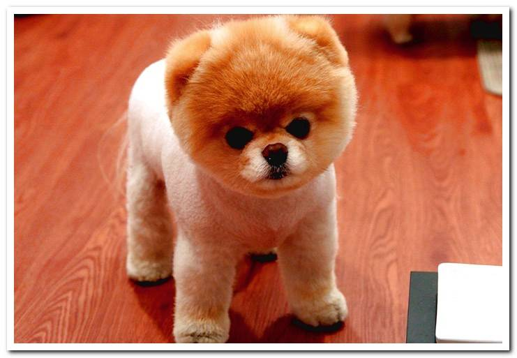 Dog Haircuts - Types and Examples