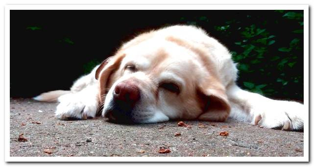 What to do if my dog ​​dies? Tips and steps to follow