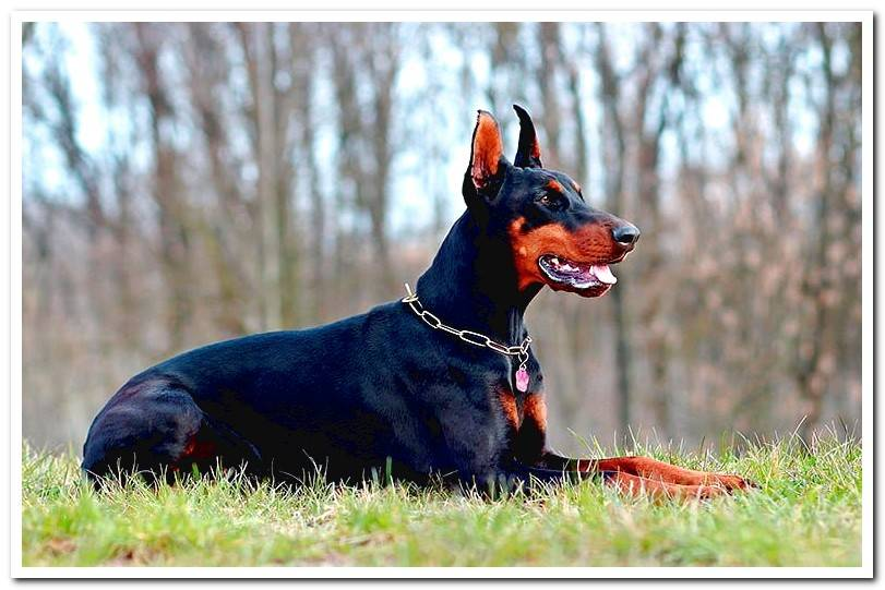 Differences between Rottweiler and Doberman